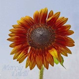 SUNFLOWER-8008-.jpg