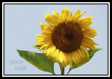 SUNFLOWER---9916.jpg