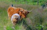 Highland-Cows1729-.jpg