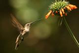 Oasis Hummingbird: female
