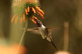 Oasis Hummingbird: male