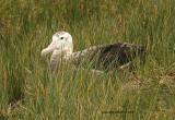 Wandering Albatross: imm
