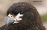 Antarctic, Falklands and South Georgia - other birds