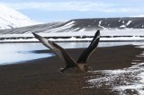 Brown (Subantarctic) Skua