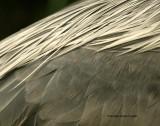 Cocoi heron: scapulars