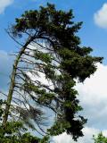 2007-05-14 Dark tree