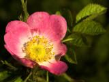 2007-06-08 Rose