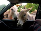 2007-07-21 Donkeys almost in car