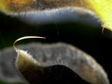 2007-08-09 Capsul close-up