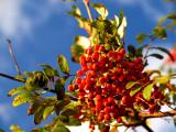 2007-09-13 Red berries