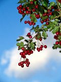 2007-09-29 Red berries and blue sky