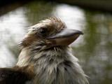 2007-10-01 Kookaburra - Latterfugl