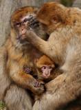 The berber-apes in Salem