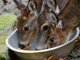 West Virginia ~ Whitetail Deer