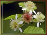 West Virginia ~ Spring Wildflowers 2007