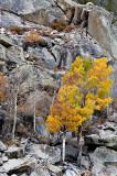 Tree and Sierra Granite-2