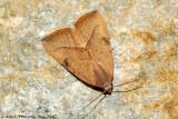 Spotted Grass Moth (Rivula propinqualis)