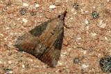 Hop Vine Moth - Aug 2006