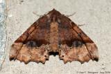Pero Moth sp. - Aug 2006