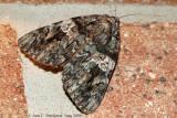 Ilia Underwing (Catocala ilia)