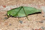 Katydid (Microcentrum sp.)