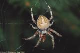 Orbweaver Spider  (Araneus sp.)