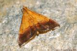 Pyrausta Bicolored Moth (Pyrausta bicoloralis)