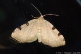 Three-spotted Fillip (Heterophleps triguttaria)