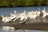 Brown & White Pelicans