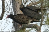 Turkey and Black Vultures