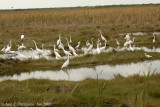 A Gathering of Waders