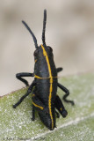 Eastern Lubber Grasshopper (Nymph)
