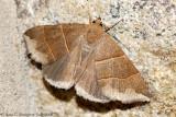 Maple Looper Moth