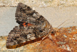 The Betrothed Underwing Moth