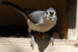 Tufted Titmouse