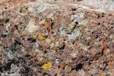 Lichen on Lava Rock