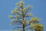New Mexico Pine