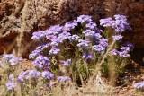 New Mexico Wildflower