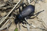 Ground Beetle sp.