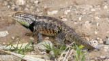 Desert Spiny Lizard - Male