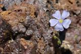 Wildflower on Lava