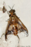 Deer Fly (Chrysops flavidus)
