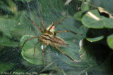 Grass Spider with Leafhopper