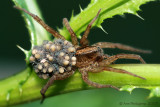 Wolf Spider with Hatchlings