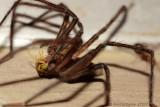 Nursery Web Spider with Prey
