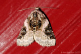 Pink-barred Lithacodia