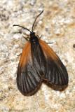 Orange-patched Smoky Moth