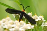Grapeleaf Skeletonizer Moth