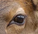 Elk Calf's Eye