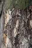Armillaria-mellea.(Honey Fungus)